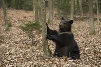 just funny... European Brown Bear cup *Ursus arctos*