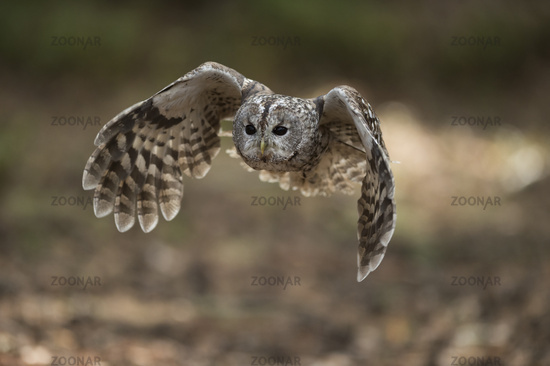 beating its wings... Tawny Owl *Strix aluco*