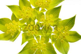 Rundblättriges Hasenohr (Bupleurum rotundifolium)
