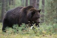 walking through the undergrowth... European Brown Bear *Ursus arctos*