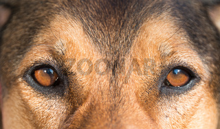 portrait of a hunting dog - beautiful symmetry of the face, focu
