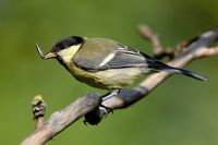 young great tit with sunflower seed
