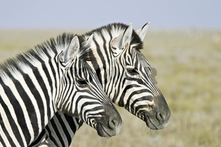 Steppenzebras (Equus quagga burchelli), Etosha-Nationalpark, Afrika, Namibia, Plains Zebras, Common Zebras,  Etosha NP, Africa