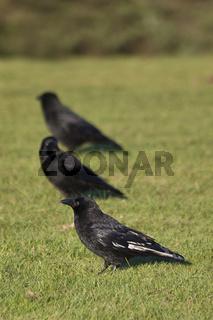 three black crows walking on the grass
