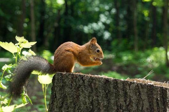 Squirrel on a hemp with a nut