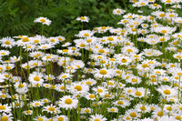 Magerwiesen-Margerite - Leucanthemum vulgare, the ox-eye daisy in garden