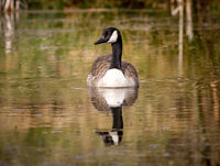 Canada Goose swimming on a natural pond. In sunlight with good reflection in the water.