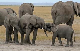 Junge afrikanische Elefanten, Kenia