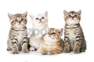 Vier britisch Kurzhaar Kätzchen