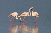 Flamingo - Flamingos in Camargue, France