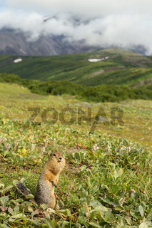 Arctic ground squirrel at foot of volcano on Kamchatka.