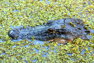 Portrait of Alligator floating in a swamp