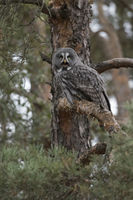 calling... Great Grey Owl *Strix nebulosa*