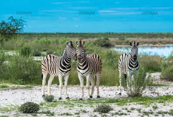 Zebras in Etosha national park, Namibia
