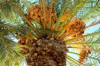 Close-up of Date palm (Phoenix dactylifera)
