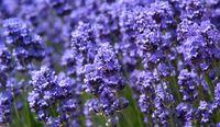violett Lavender
