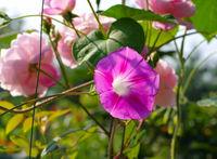 Winde - Ipomoea tricolor
