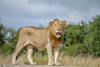 Male Lion standing on the road.