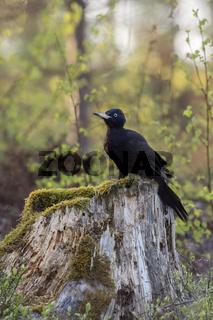 auf dem Baumstumpf... Schwarzspecht *Dryocopus martius* im Wald