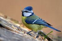 1 BA Blaumeise auf dem Vogelhaus 18.jpg