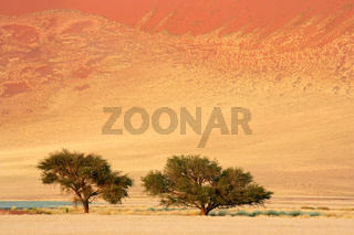 African Acacia trees
