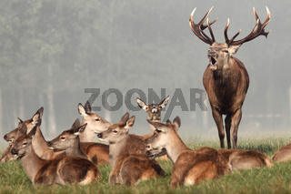 Rothirsch im Muensterland, Wildpark, Deutschland, Cervus elaphus, Red deer, Deer-park, Germany