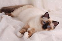SACRED CAT OF BIRMA, BIRMAN CAT, BIRMANE, KITTEN, SEALPOINT, YOUNG ADULT,
