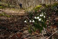 spring snowflake; Leucojum vernum;