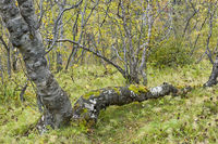 Iceland, birches in Asbyrgi canyon