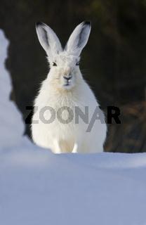 Schneehase (Lepus timidus)