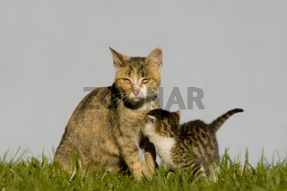 katze saeugt kaetzchen, cat nursing kitten