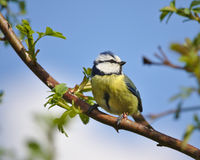 Blue tit perched on a wild rose