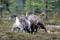 Reindeer, in the mating season, the bulls will fight for access to females