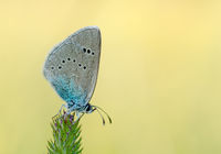 Grey blue butterfly on a stalk of grass.