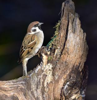 Feldsperling; Passer montanus; tree sparrow;