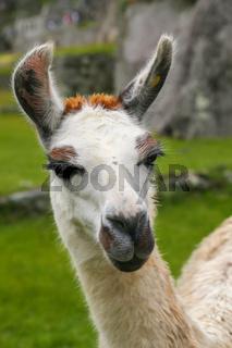 Portrait of llama standing at Machu Picchu, Peru