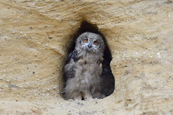 just cute... Eurasian Eagle Owl *Bubo bubo*
