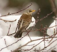 Mistle thrush bird sitting on a snow covered tree