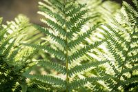 close up of a fern in spring