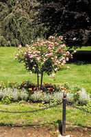 Lonely blooming tree in summer garden with chain-fence on foreground
