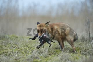 Jäger und Sammler... Rotfuchs *Vulpes Vulpes*