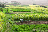 Self-sufficient labor-intensive farming in Morocco. Traditional sustainable agriculture.