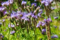 Rainfarn-Phazelie, Bienenfreund -  purple tansy, Phacelia tanacetifolia, a purple summer flower