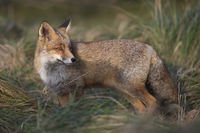 watching back over its shoulder... Red Fox *Vulpes vulpes*