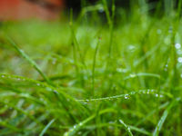 Water droplets on grass at closeup