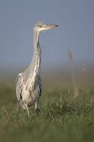 slowly walking... Grey Heron *Ardea cinerea*