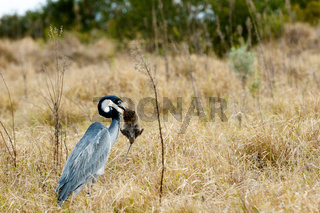 Great blue heron bird catching a mouse - Image 2 of 4