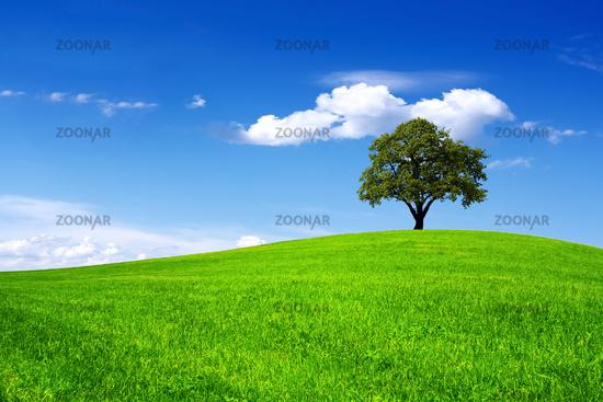 Oak on field