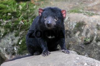 Close up of an Tasmanian devil, facing, Cradle Mountain NP, Tasmania
