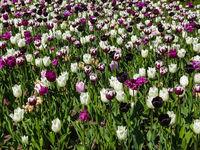 spring flower meadow - tulip field